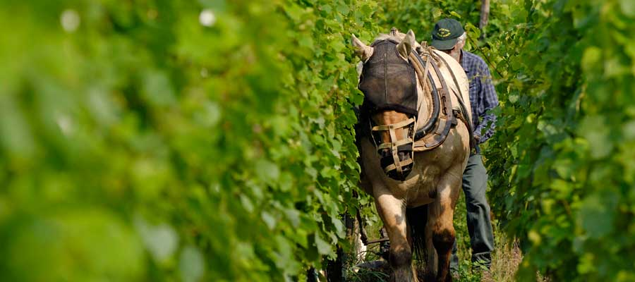 Horse in the vineyards - Alsace Wines Baur